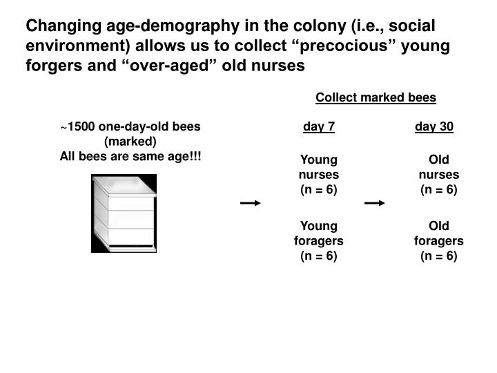 Changing age-demography in the colony (i.e., social environment) allows us to collect precocious young forgers and over-aged old nurses