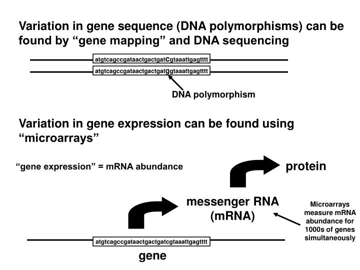 Variation in gene sequence (DNA polymorphisms) can be found by gene mapping and DNA sequencing