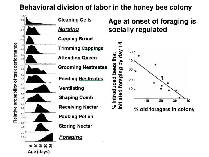Behavioral division of labor in the honey bee colony