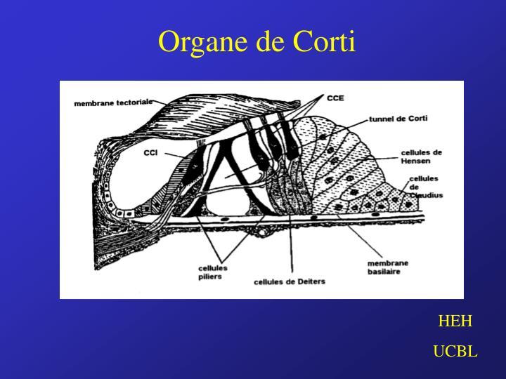 Organe de Corti