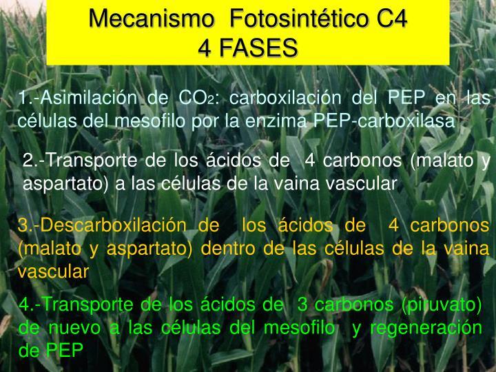 Mecanismo  Fotosintético C4                                              4 FASES