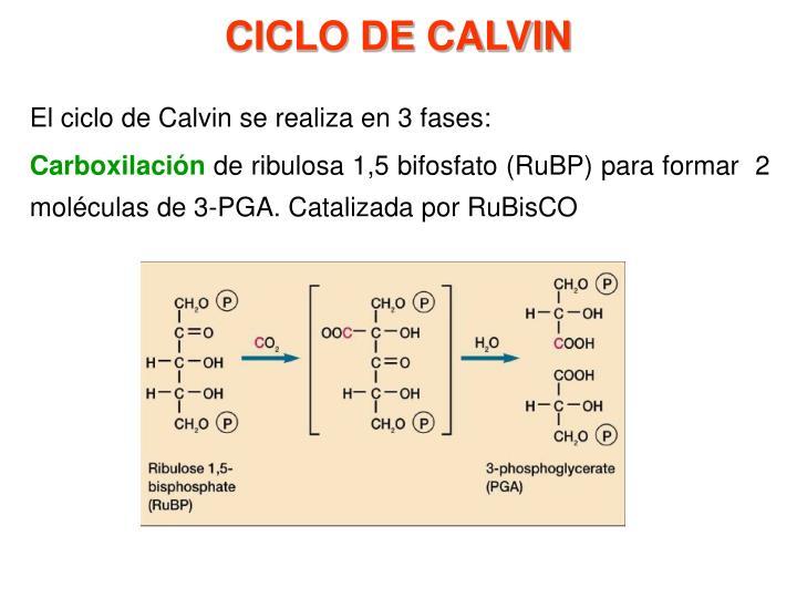 El ciclo de Calvin se realiza en 3 fases: