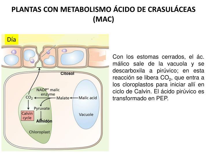 PLANTAS CON METABOLISMO ÁCIDO DE CRASULÁCEAS (MAC)