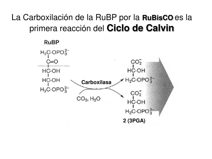 La Carboxilación de la RuBP por la