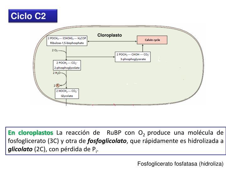 Ciclo C2