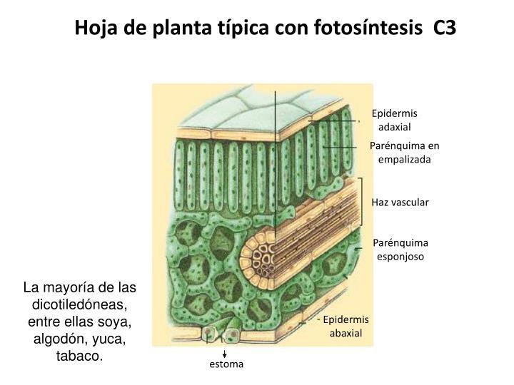 Hoja de planta típica con fotosíntesis  C3