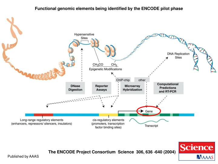 Functional genomic elements being identified by the ENCODE pilot phase