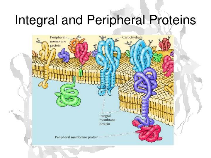 Integral and Peripheral Proteins