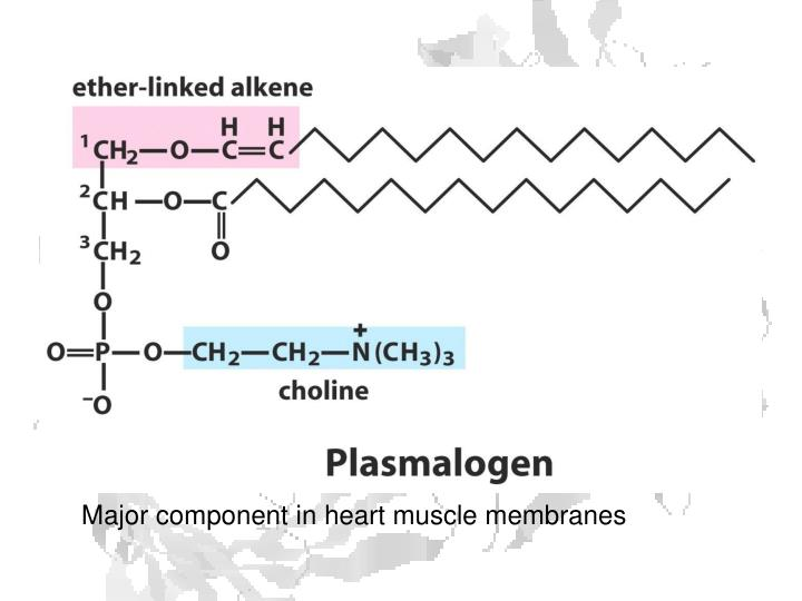 Major component in heart muscle membranes