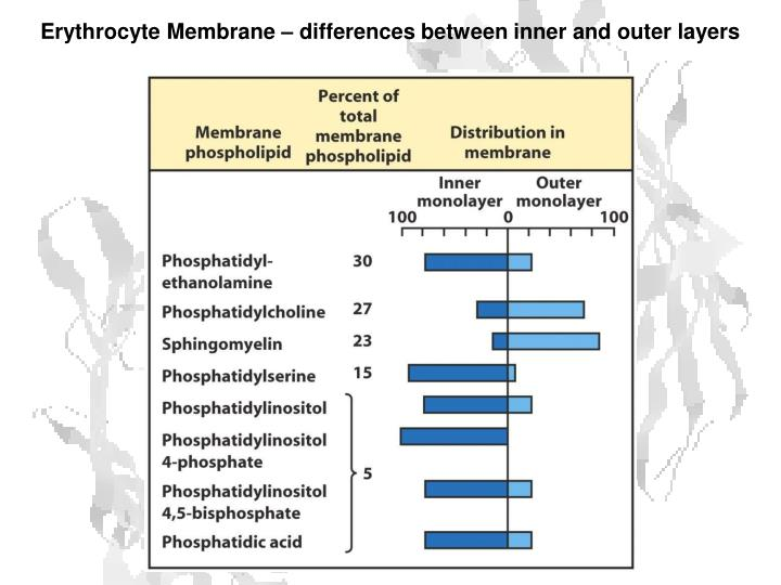 Erythrocyte Membrane – differences between inner and outer layers
