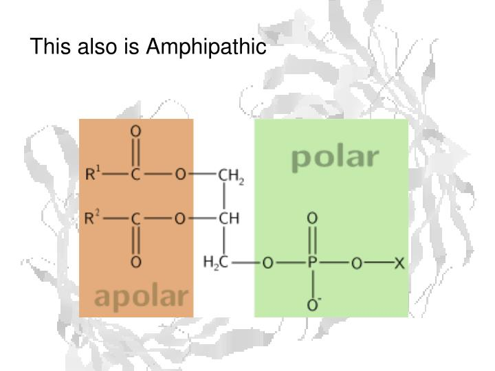 This also is Amphipathic
