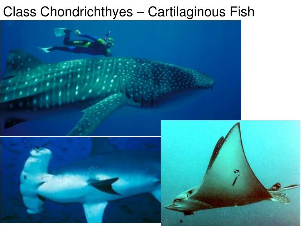 Class Chondrichthyes – Cartilaginous Fish