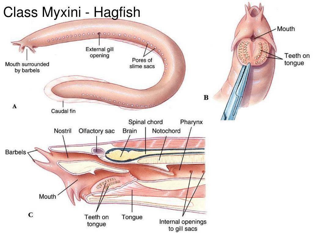 Class Myxini - Hagfish