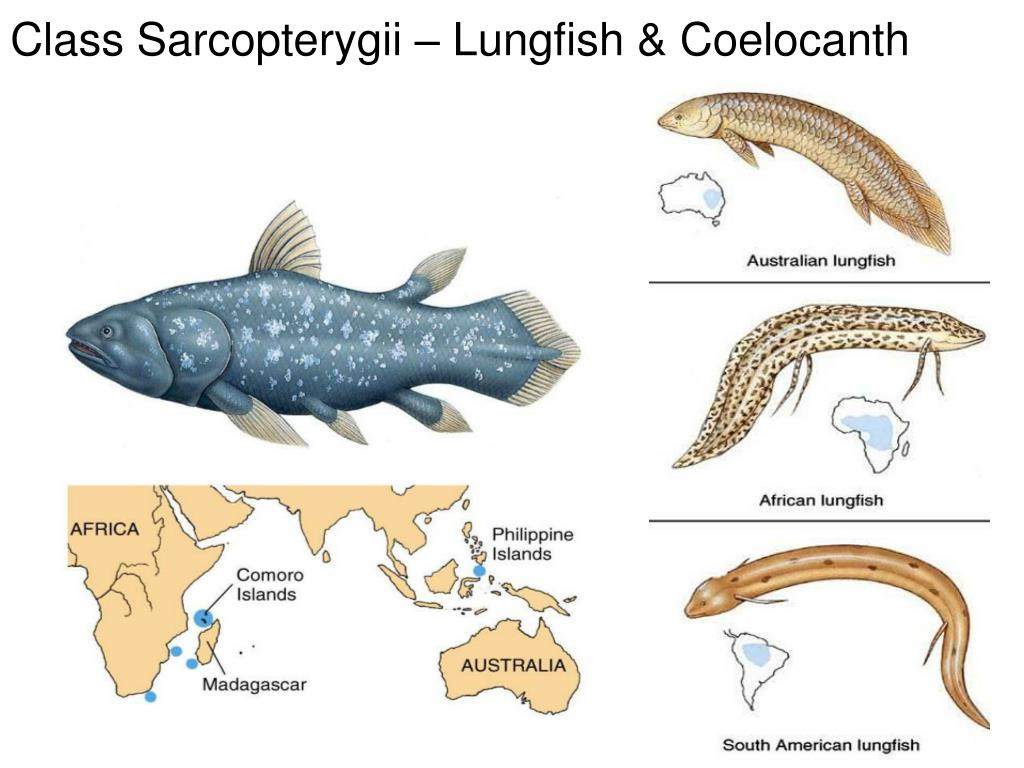 Class Sarcopterygii – Lungfish & Coelocanth