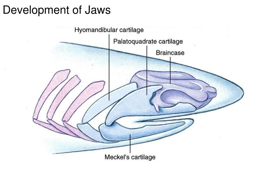 Development of Jaws