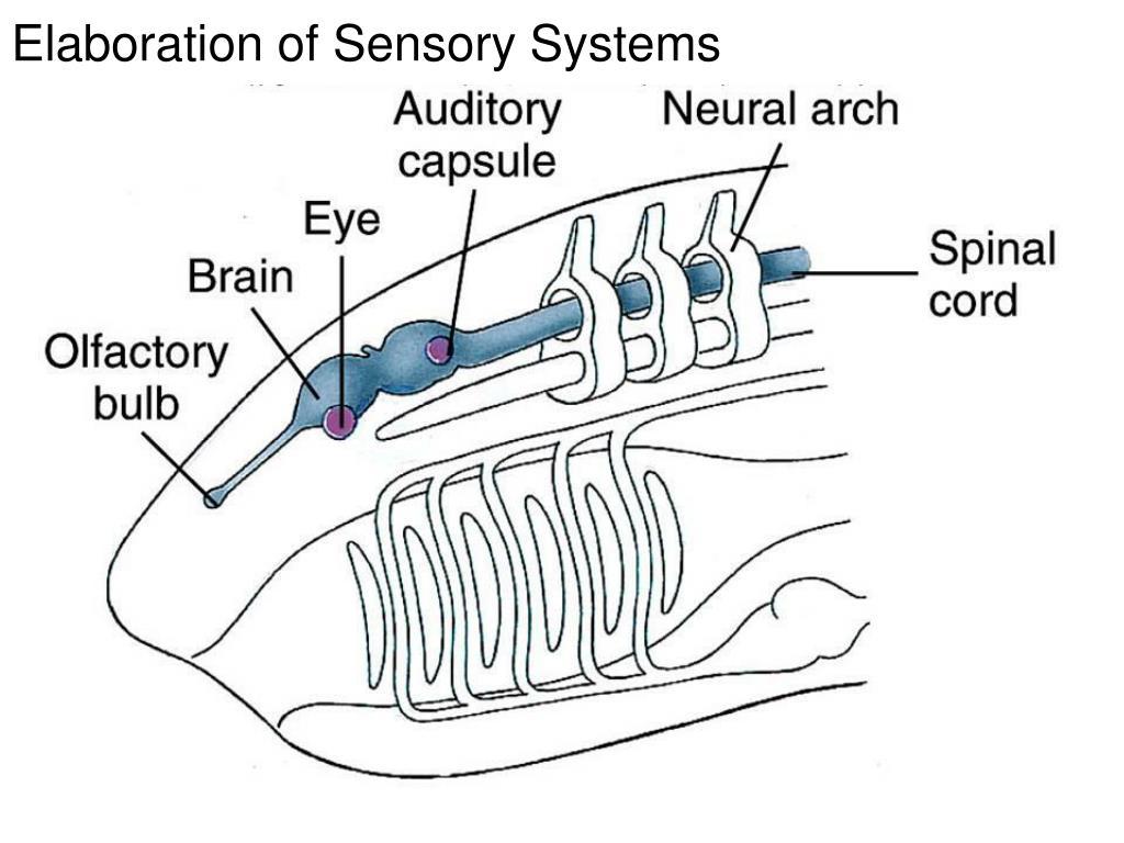 Elaboration of Sensory Systems