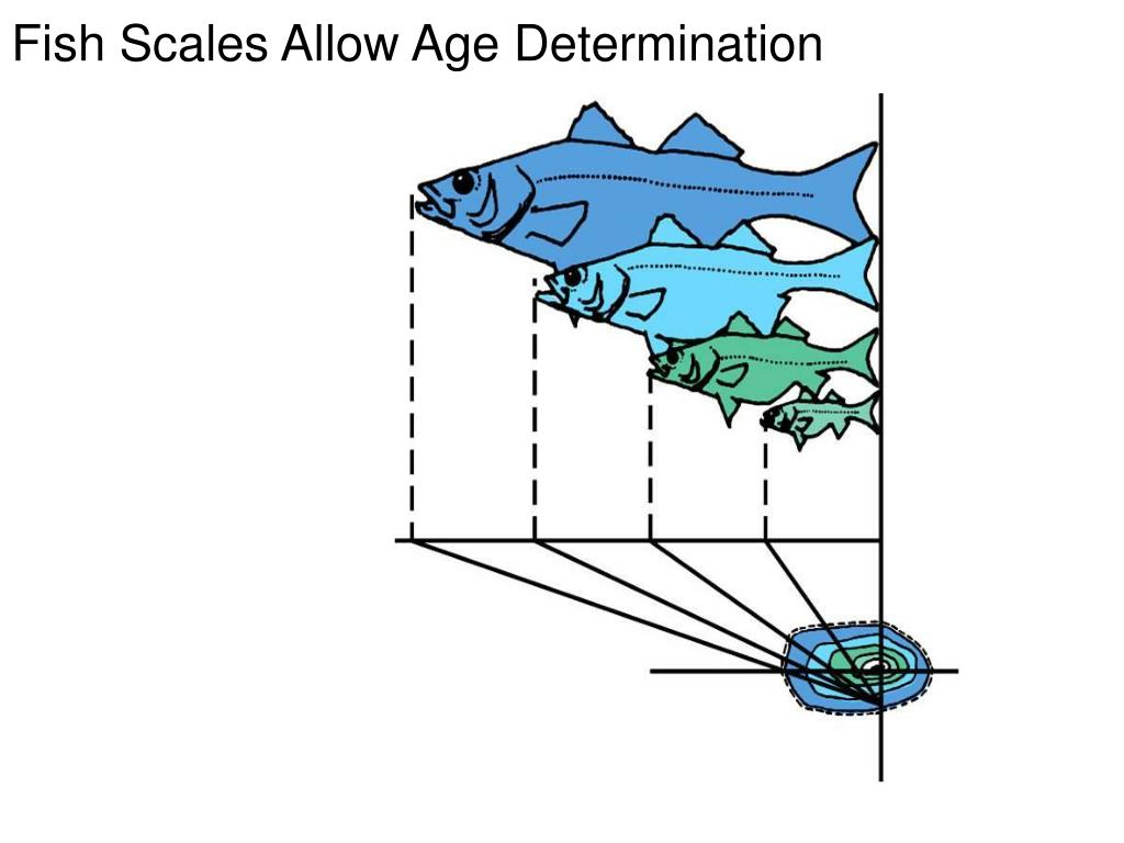 Fish Scales Allow Age Determination