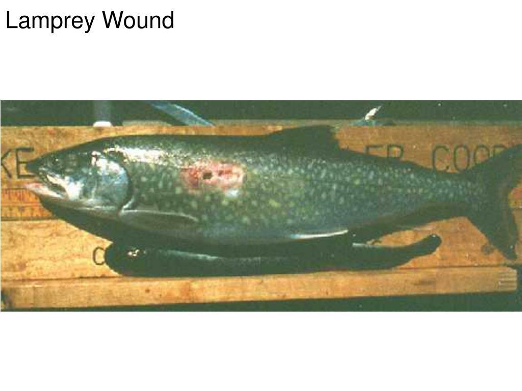 Lamprey Wound