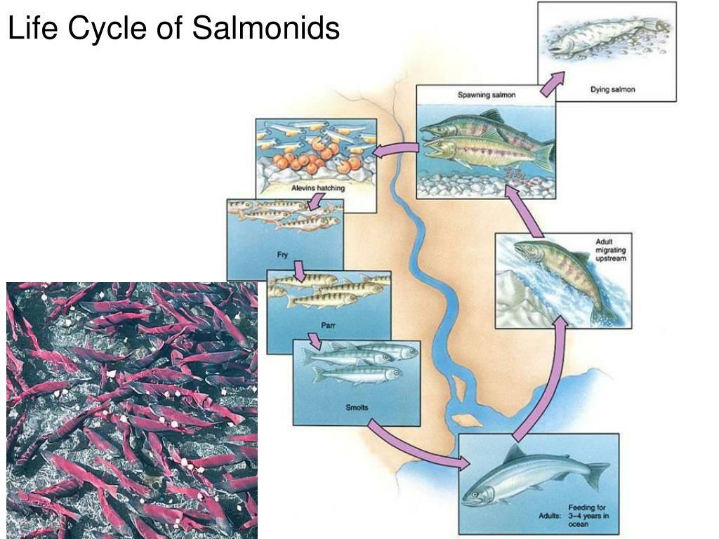 Life Cycle of Salmonids