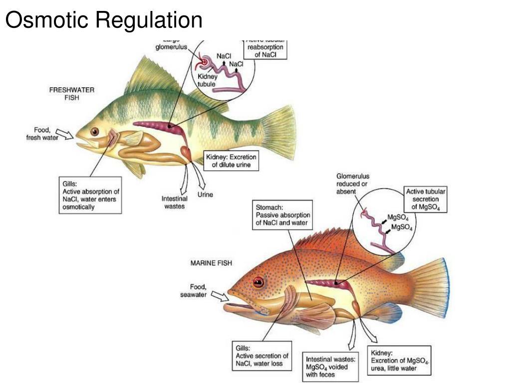 Osmotic Regulation