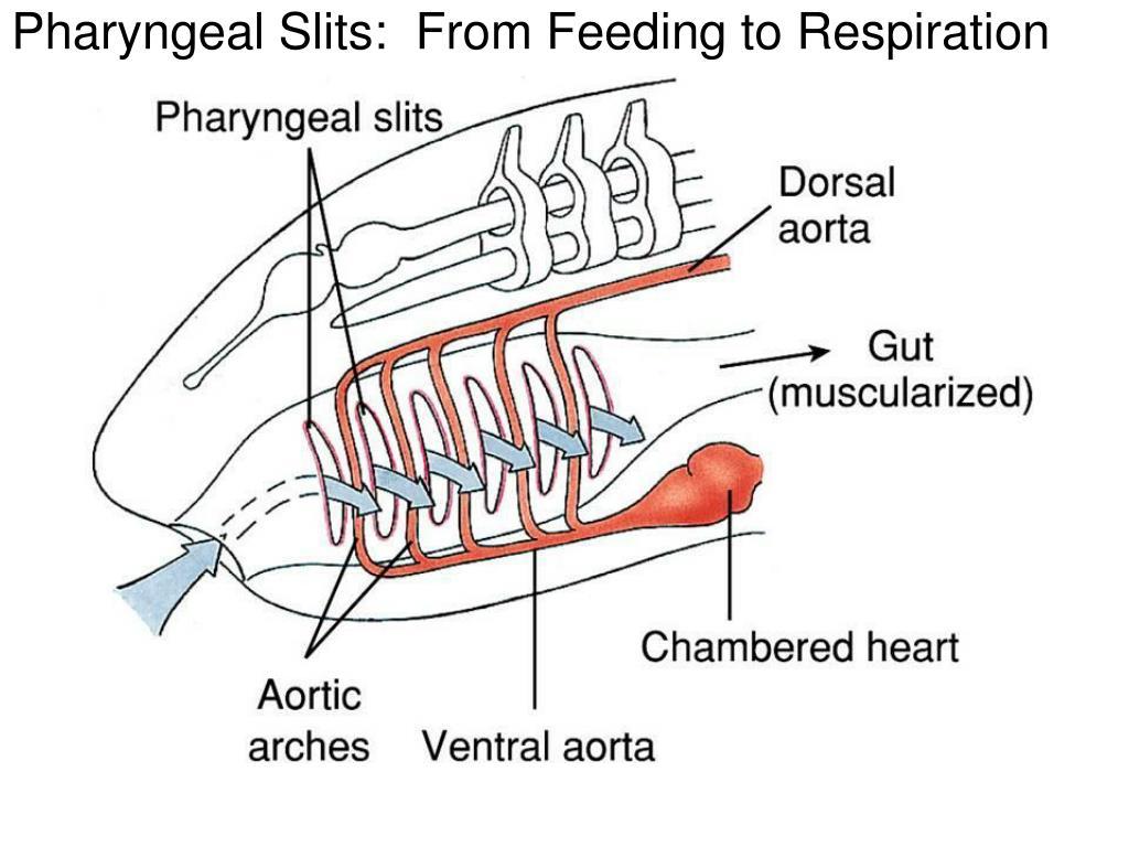 Pharyngeal Slits:  From Feeding to Respiration