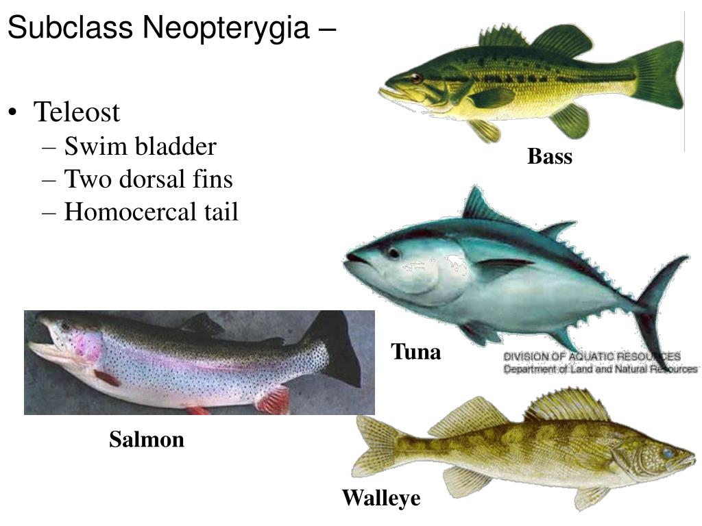 Subclass Neopterygia –