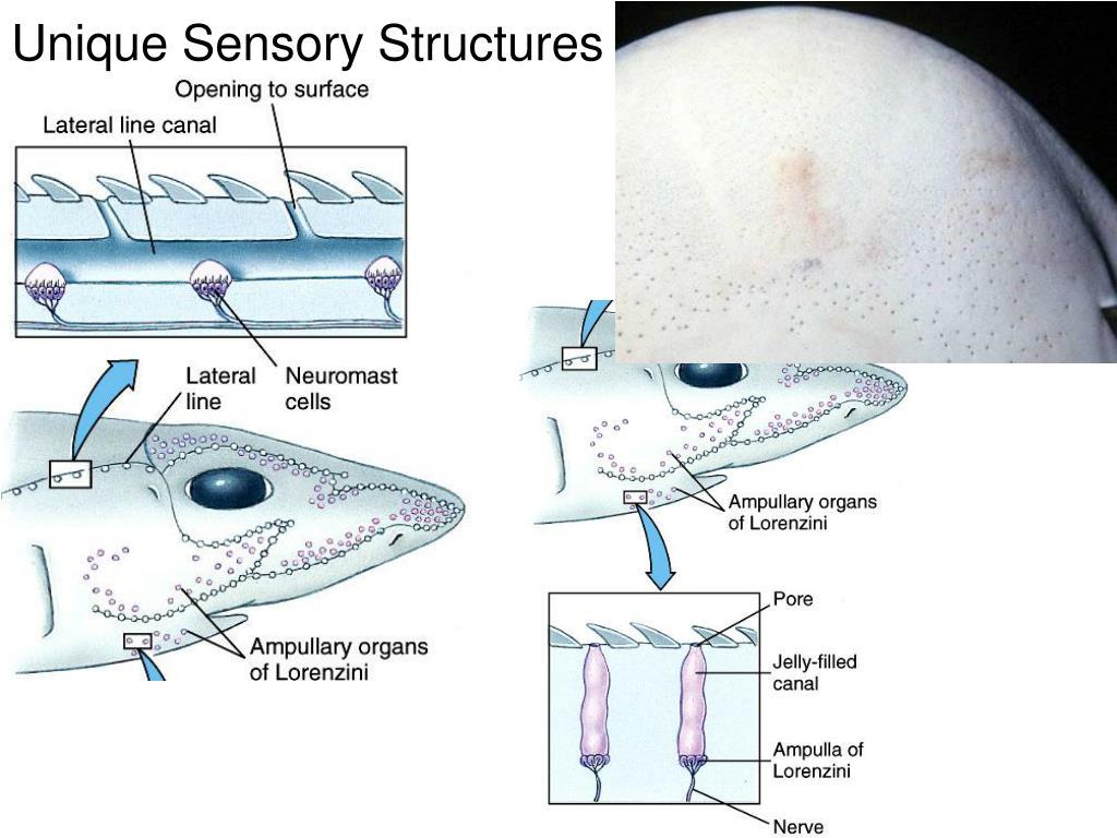 Unique Sensory Structures