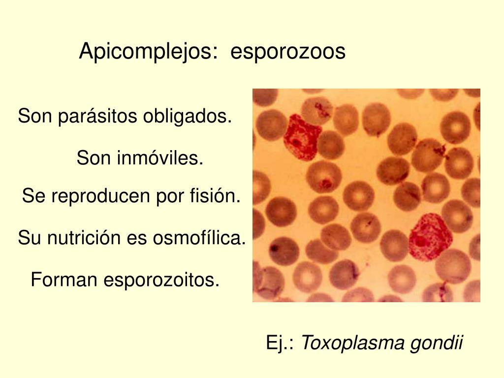Apicomplejos:  esporozoos
