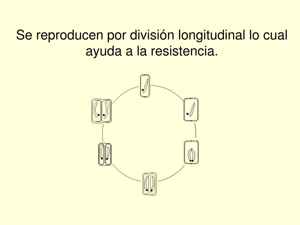 Se reproducen por división longitudinal lo cual ayuda a la resistencia.