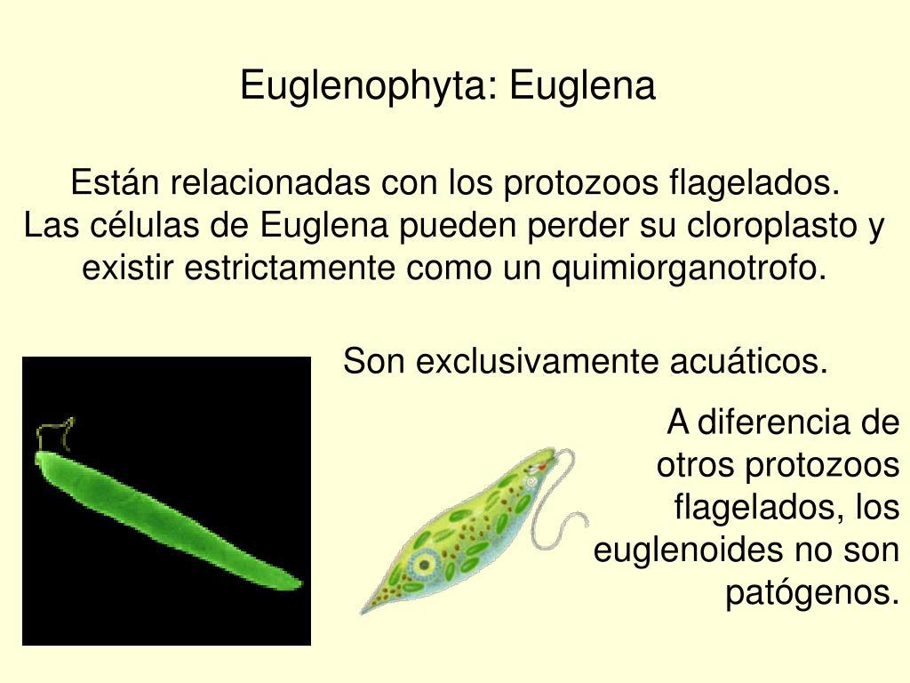 Euglenophyta: Euglena