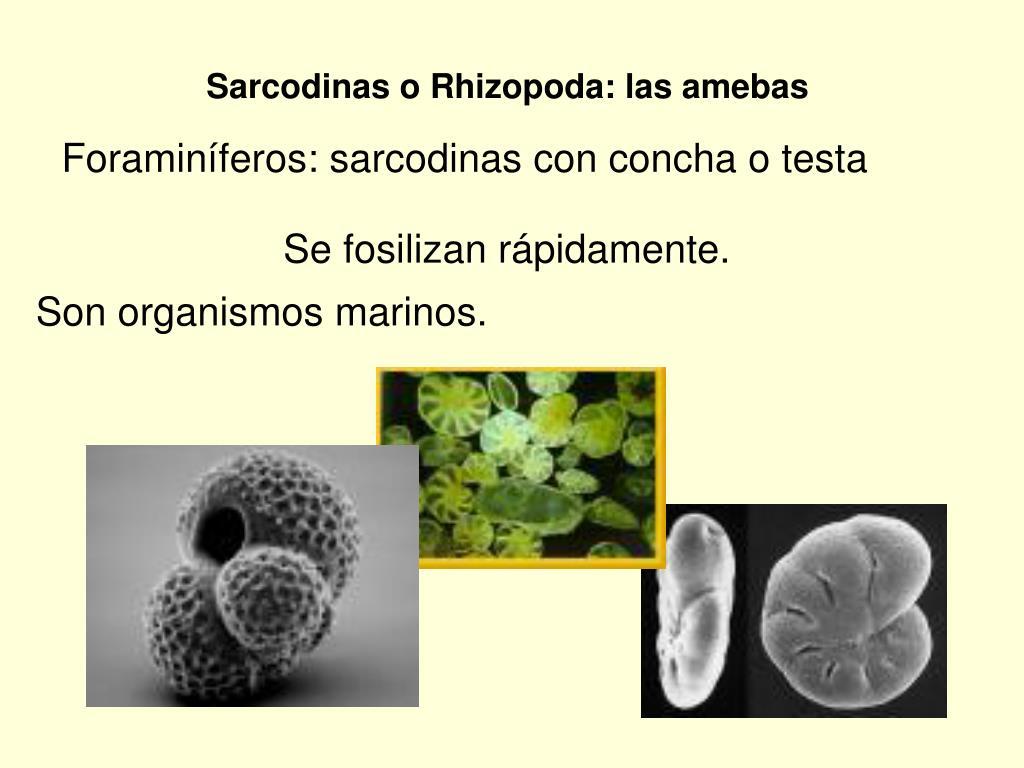 Sarcodinas o Rhizopoda: las amebas