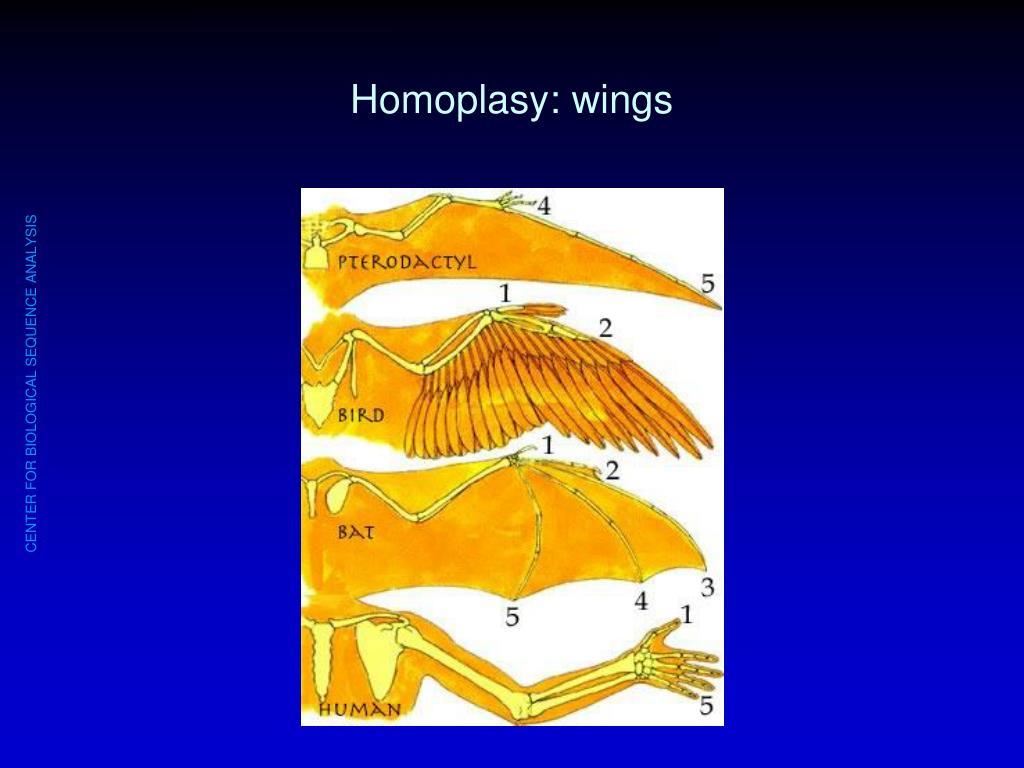 Homoplasy: wings