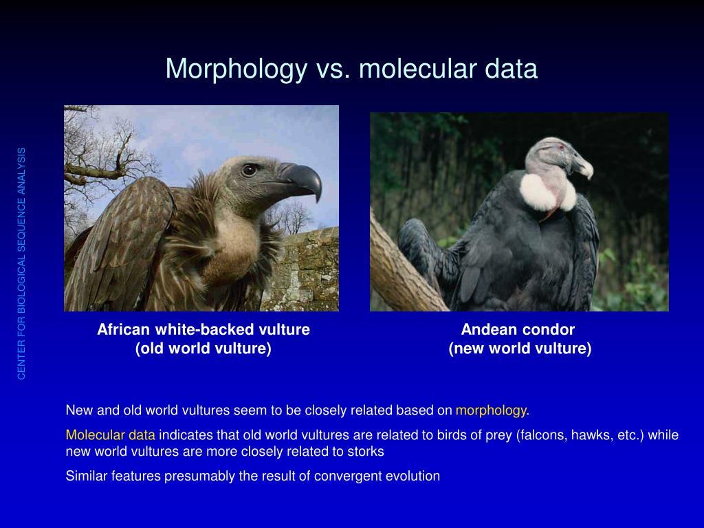 Morphology vs. molecular data