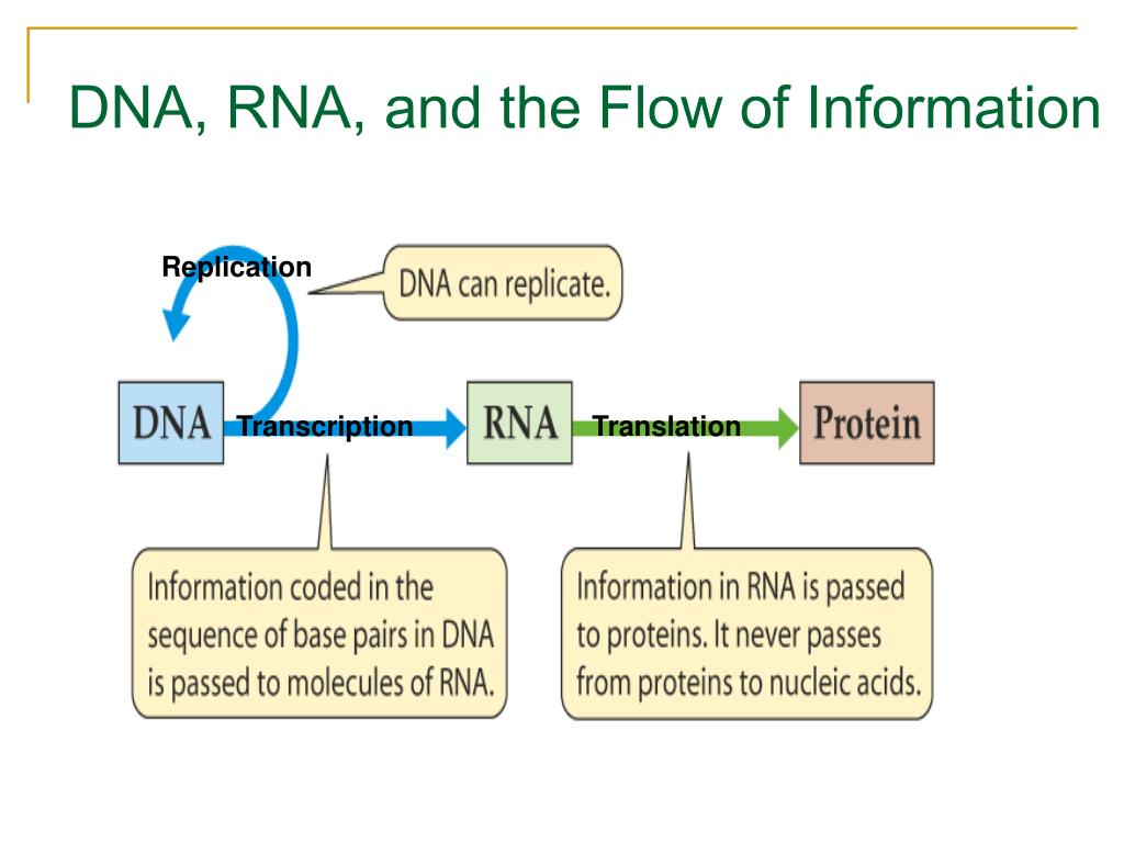 DNA, RNA, and the Flow of Information