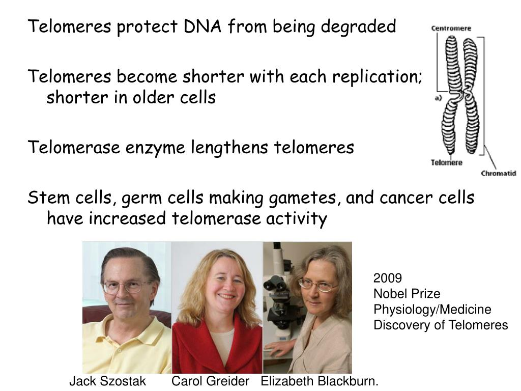 Telomeres protect DNA from being degraded