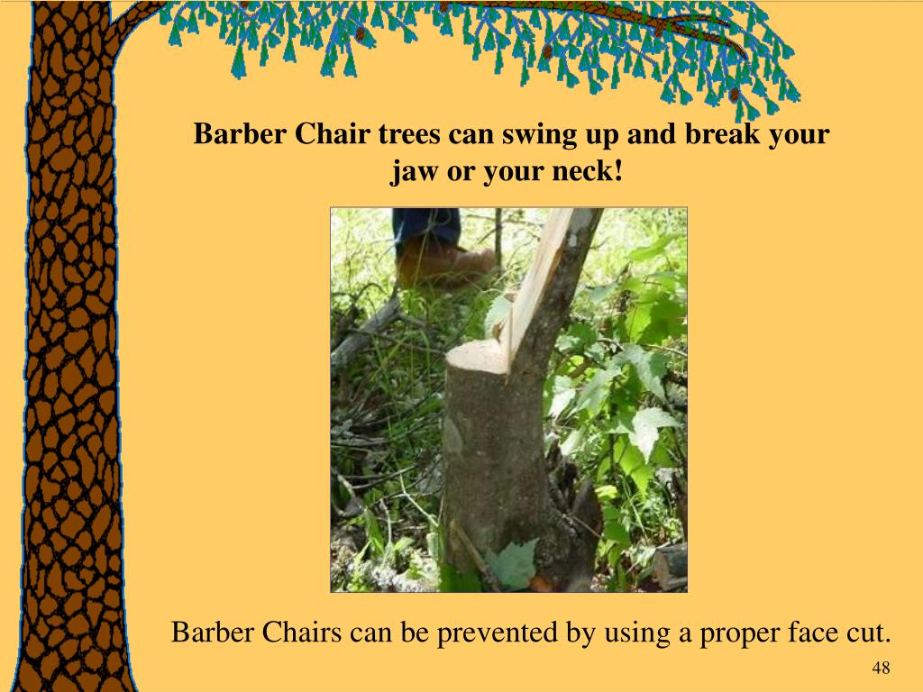 Barber Chair trees can swing up and break your jaw or your neck!