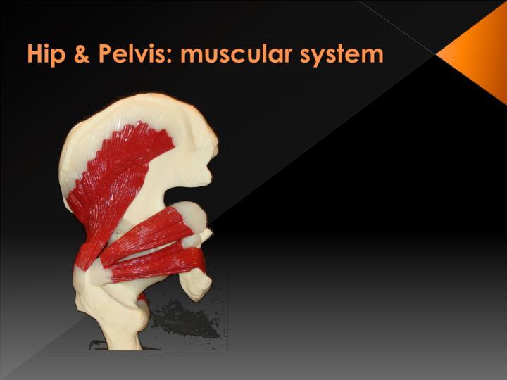 Hip & Pelvis: muscular system