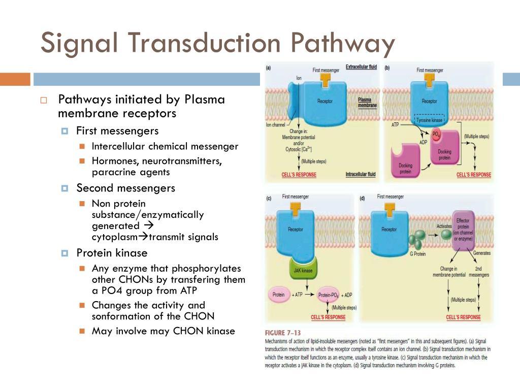 Signal Transduction Pathway