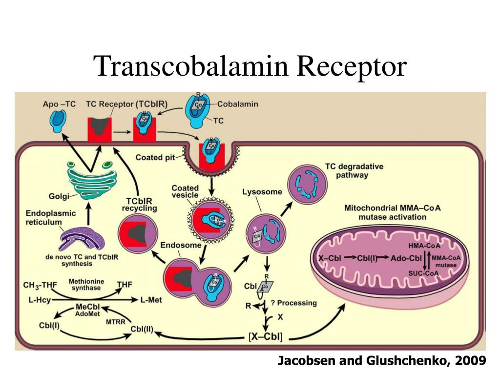 Transcobalamin Receptor