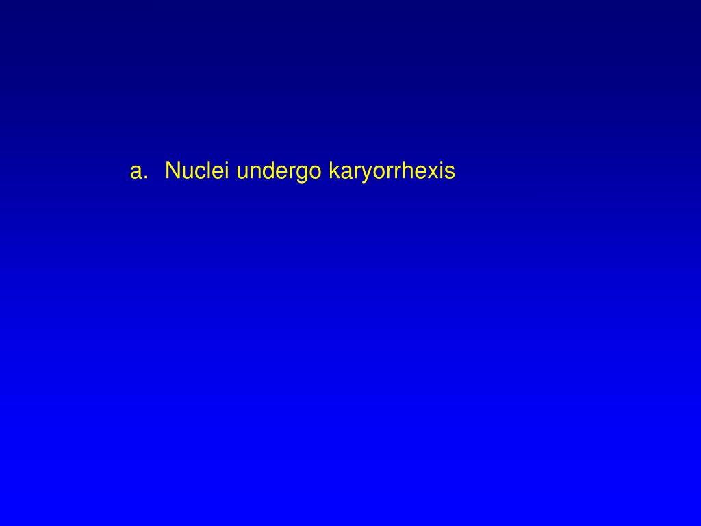 Nuclei undergo karyorrhexis