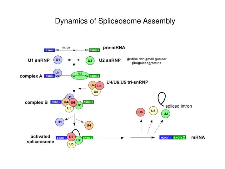 Dynamics of Spliceosome Assembly