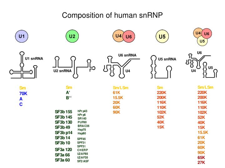 Composition of human snRNP