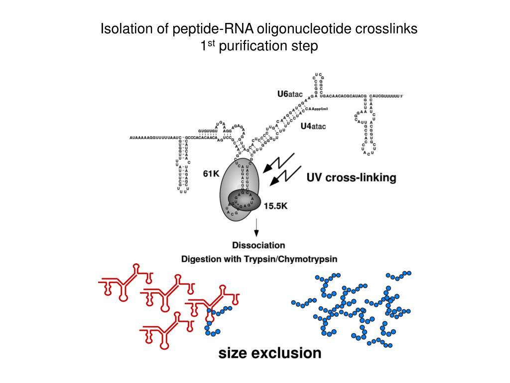 Isolation of peptide-RNA oligonucleotide crosslinks