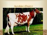ayrshire dairy