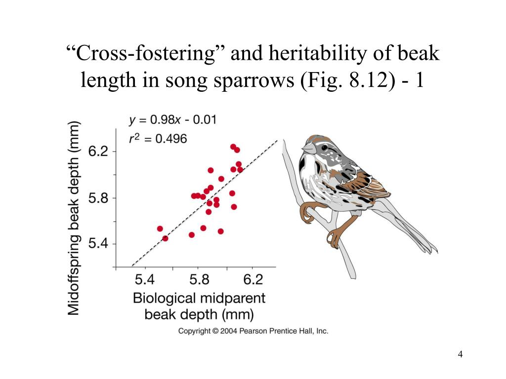 """""""Cross-fostering"""" and heritability of beak length in song sparrows (Fig. 8.12) - 1"""