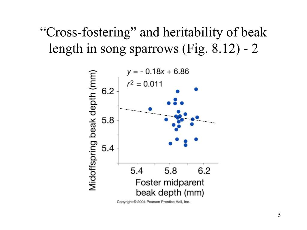 """""""Cross-fostering"""" and heritability of beak length in song sparrows (Fig. 8.12) - 2"""