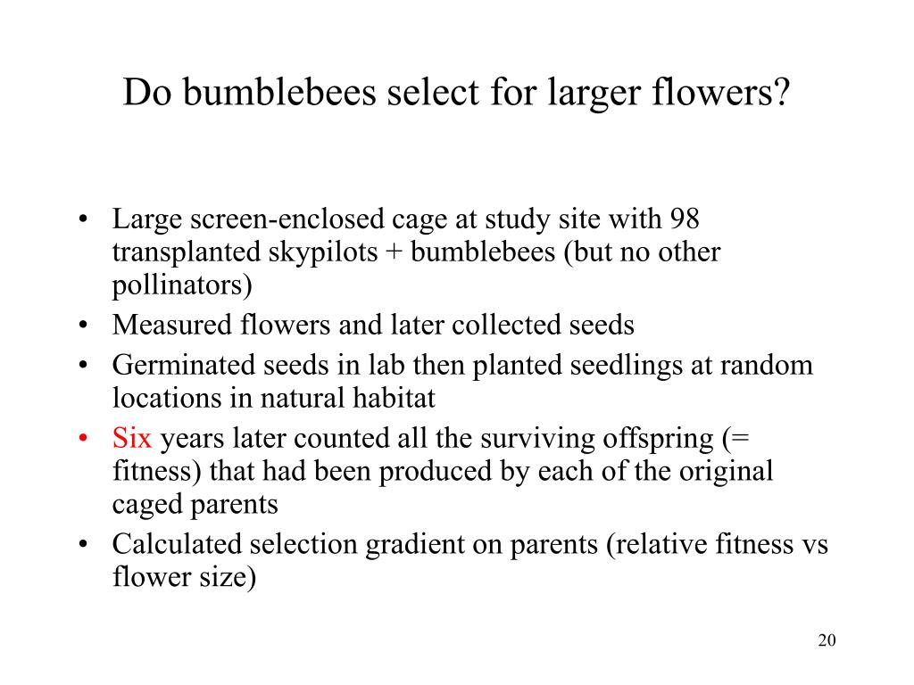 Do bumblebees select for larger flowers?