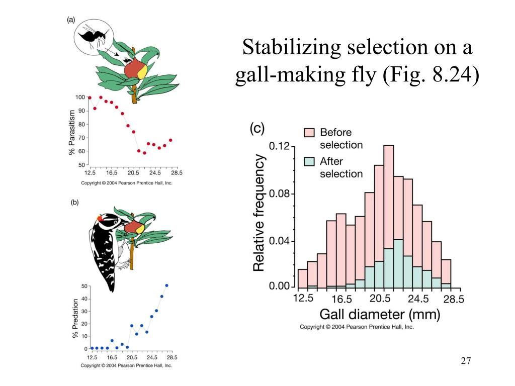 Stabilizing selection on a gall-making fly (Fig. 8.24)