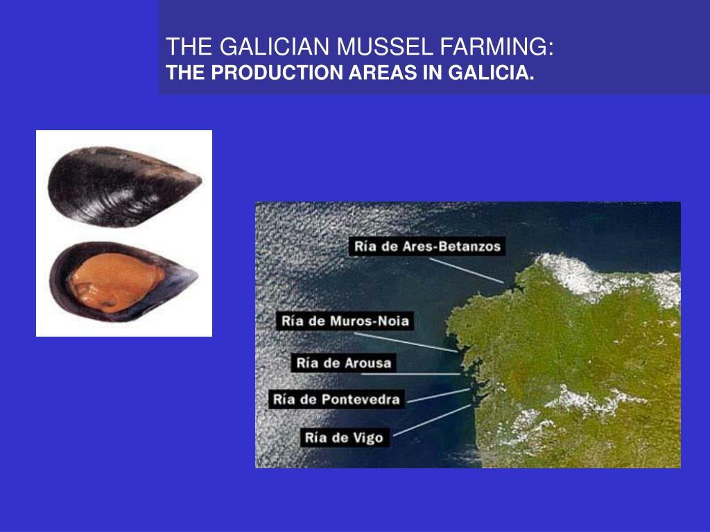 THE GALICIAN MUSSEL FARMING: