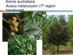 aromo australiano acacia melanoxylon 7 th region introduced